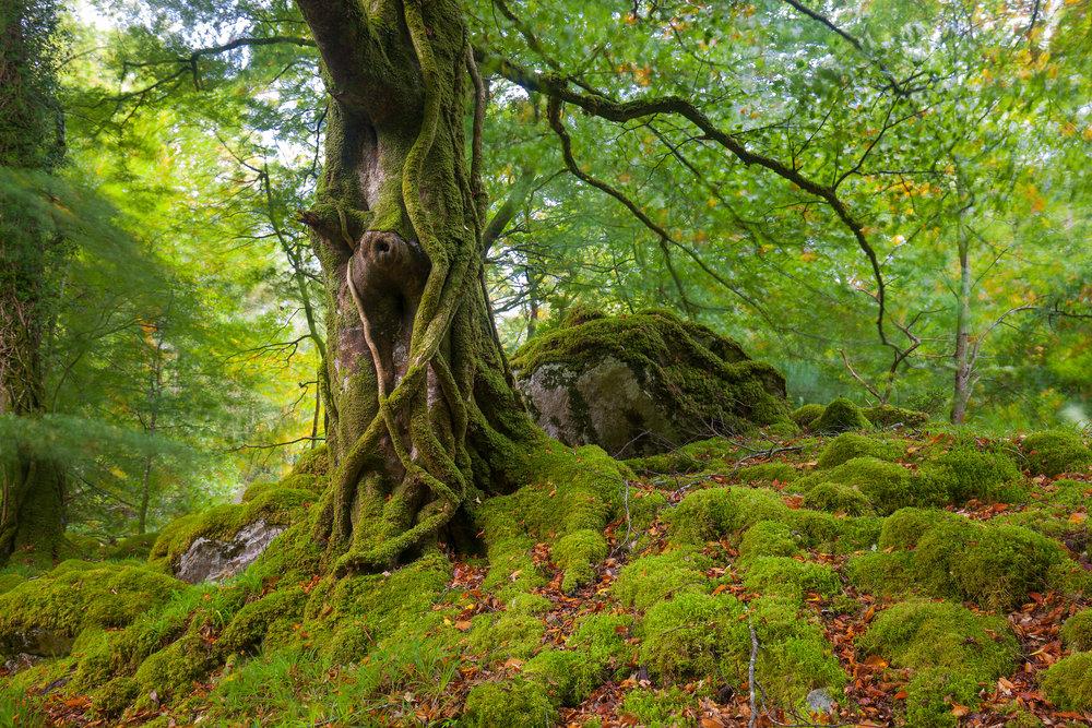 Killarney Woodland.jpg