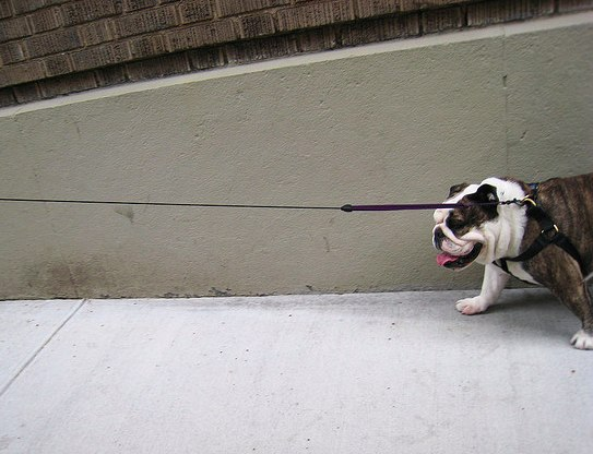 FatBulldogWalll.jpg