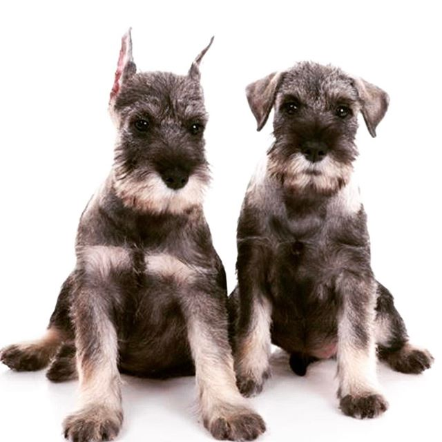 "Here at #avma2017 where I just saw that AVMA's PAC is putting on a Puppy Bowl using zero #mutts and a docked and cropped #schnauzer to boot. Guess the AVMA's PAC didn't read it's own position statement: ""The AVMA opposes ear cropping and tail docking of dogs when performed for cosmetic reasons and calls on breed organizations to remove mention of the procedures from their standards. The AVMA opposes ear cropping and tail docking of dogs when done solely for cosmetic purposes."" #vetlife #veterinarian #vettech #vetstudent @christiekeith @ginaspadafori @gailgolab"
