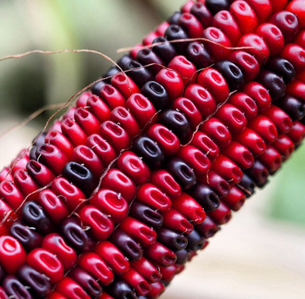 bloody_corn_close_up.JPG