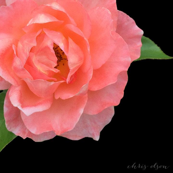 Rose art by Chris Olson