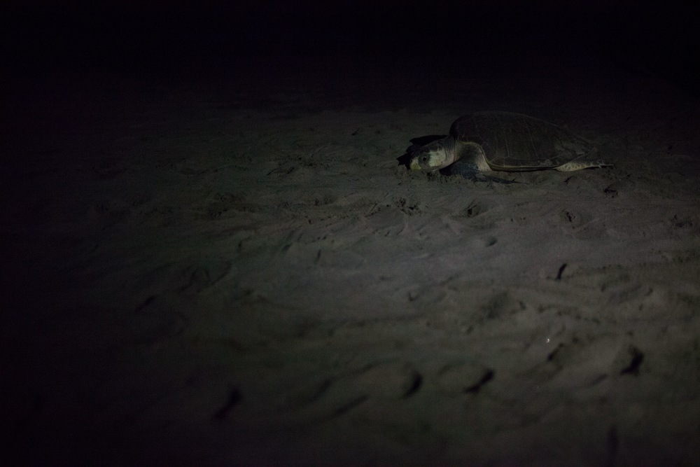 Nicaraguan nesting Sea turtles migrate onto the beach of Playa La Flor. Don't underestimate their speed...