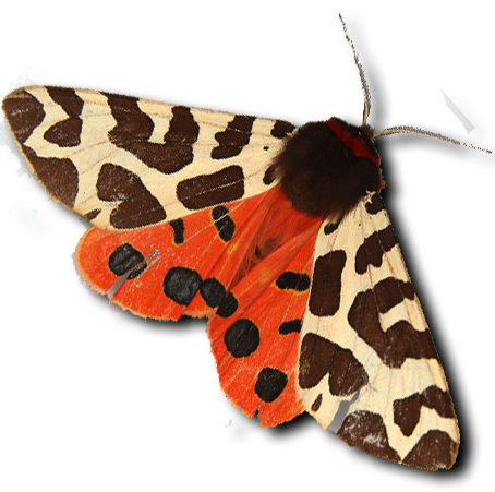 tiger moth.png