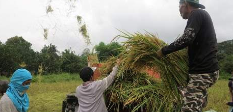 Farmers living in Central Luzon work quickly to harvest their rice crops ahead of Typhoon Haima. Last year, Typhoon Koppu triggered severe floods which damaged agriculture land and destroyed all their crops. Photo Credit: Cheryl Gagalac/IFRC