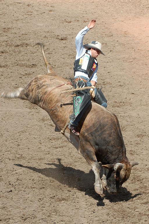 Calgary Stampede bull rider (Photo: Chuck Szmurlo, Wikimedia Commons)