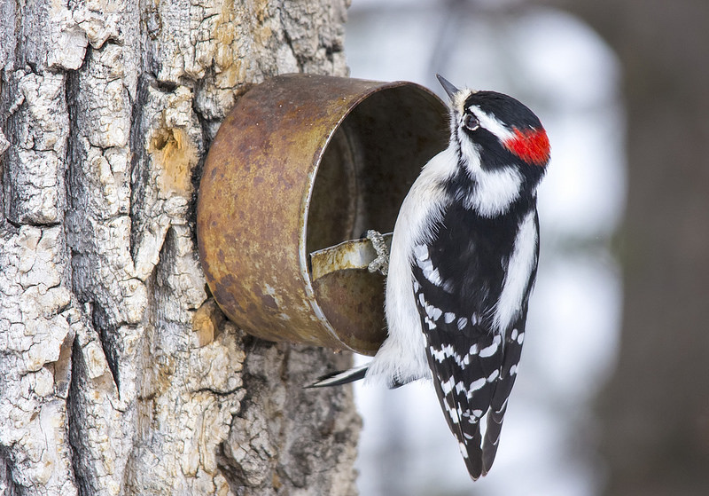 A downy woodpecker in Calgary's Weaselhead flats. Said to be named after a Tsuut'ina chief, this 237-hectare park borders the west end of Glenmore Reservoir.  Between 1908 and 1998 the Canadian Armed Forces used the area for military training. The park is now a haven for wildlife, birders and poets. (Photo: Dan Arndt, Birds Calgary)