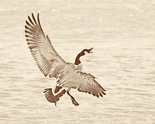 Film Filter Goose