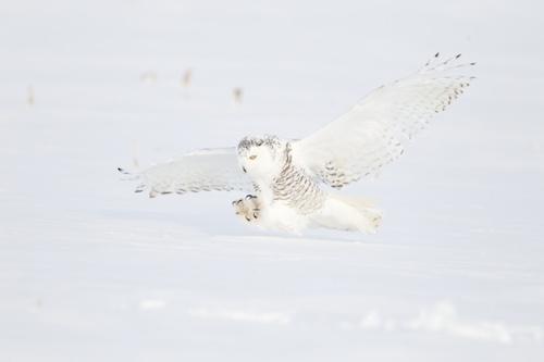 MCT Raw owl