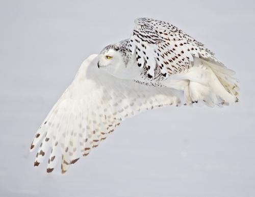 MCT Vanity Owl