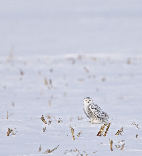 Looks cold, huh?!  Those wonderful Snowy Owl photos start out this way - waiting for hours in sub zero temps waiting for the young gal to get up and look for something to eat!