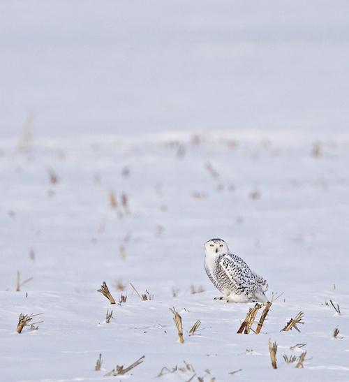 Snow Owl 2011 02 13 7980