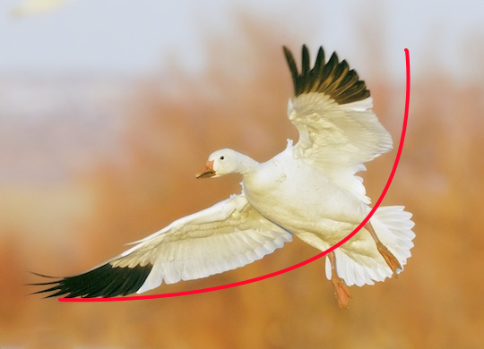 single snow goose curved.jpg
