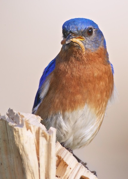 Male-Eastern-Bluebird-with-Supper.jpg