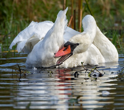 Mute Swan taking a break from parenting and enjoying a little preening time.
