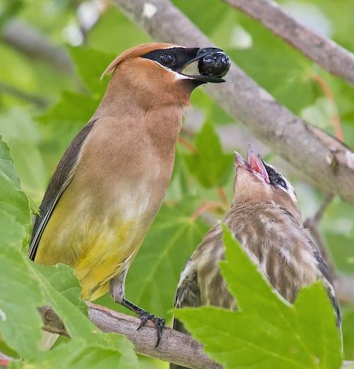 Backyard Birding (2009-08-16) #78.jpg