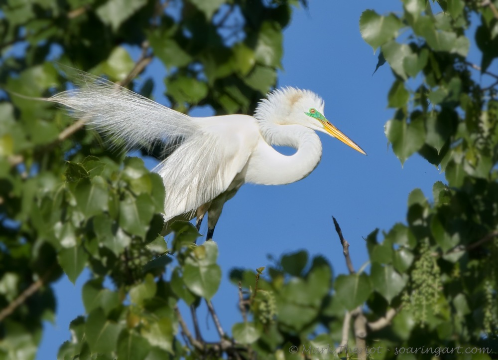 Egret Displaying