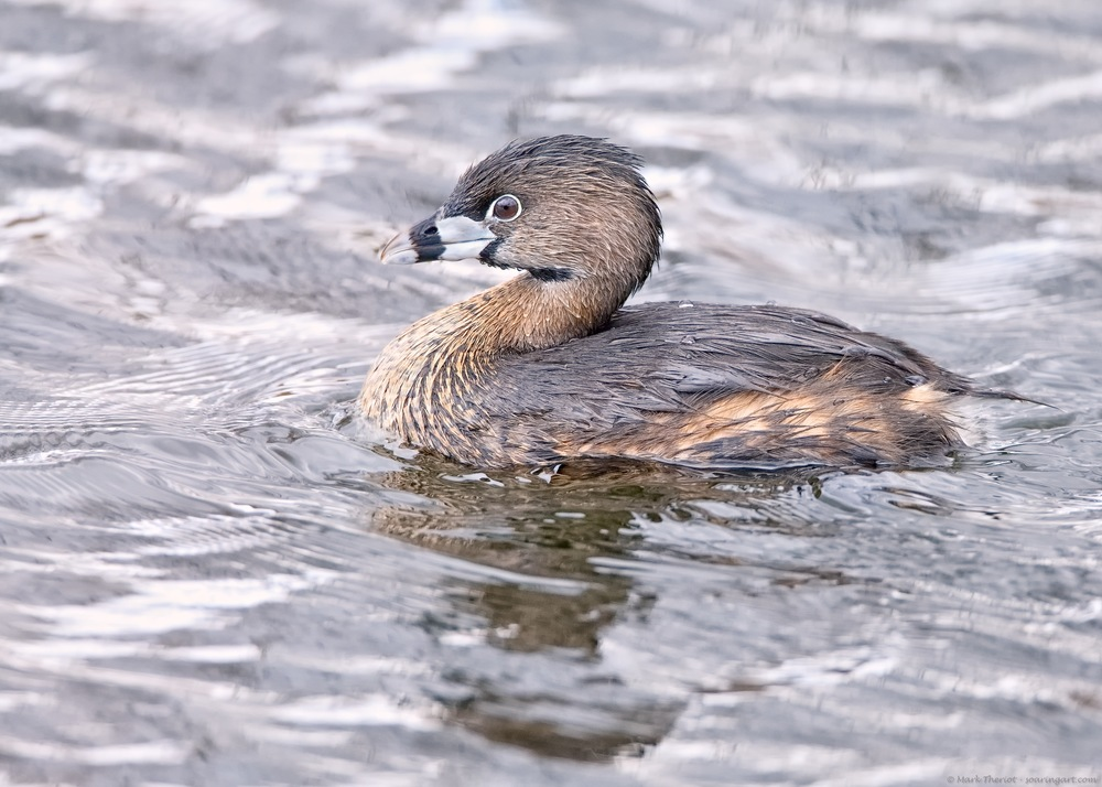 Plied-billed Grebe