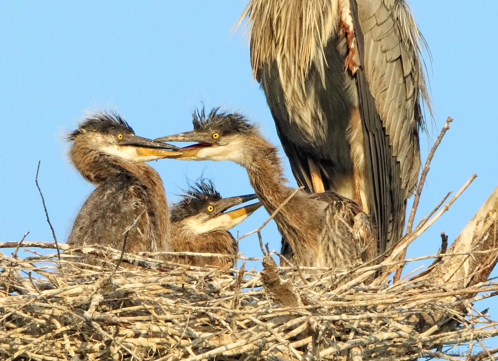 Great Blue Herons - Juveniles