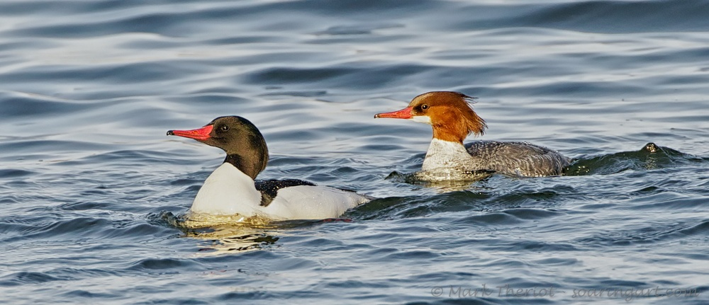 Common Merganser - Male and Female