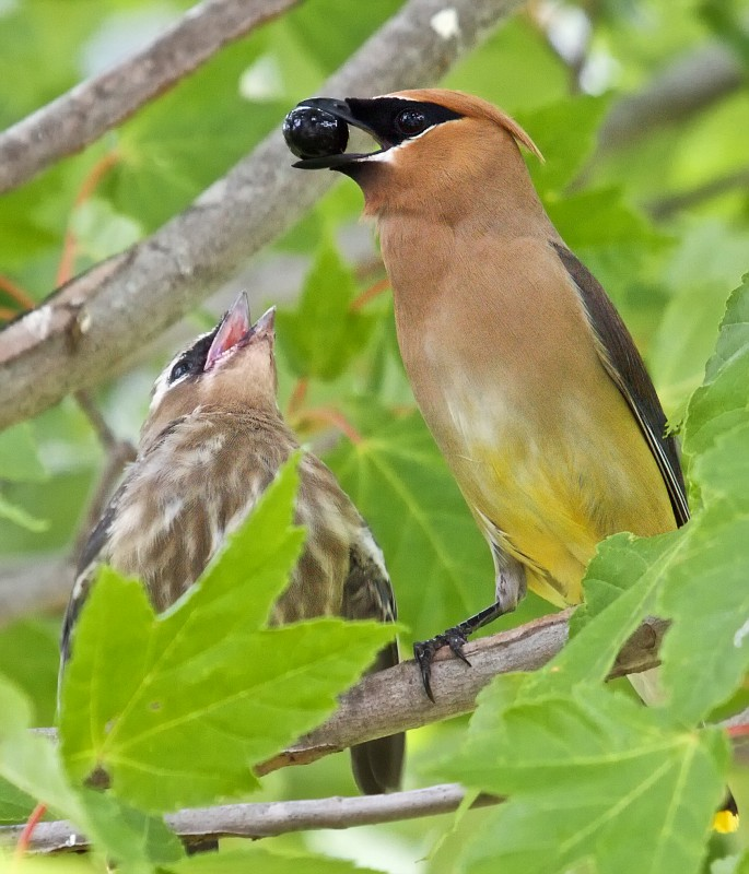 Adult Cedar Waxwing feeding young