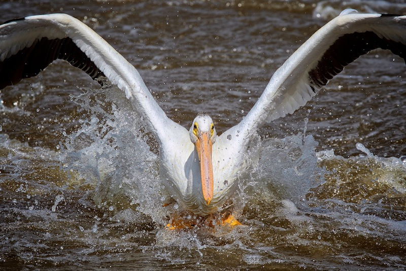 First year pelican attempting a water landing