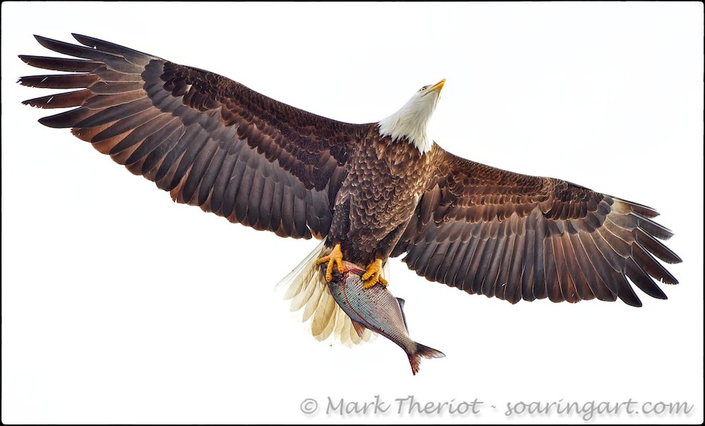 An unexpected fly-over by this Bald Eagle offered a unique perspective on it's prey.