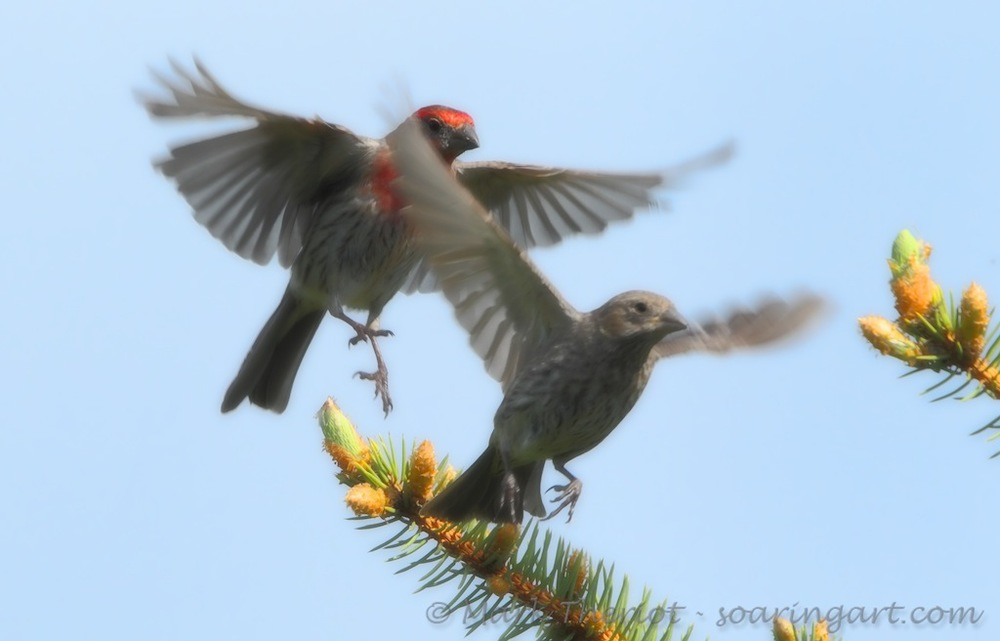 Theriot-Soft_Finches.jpg