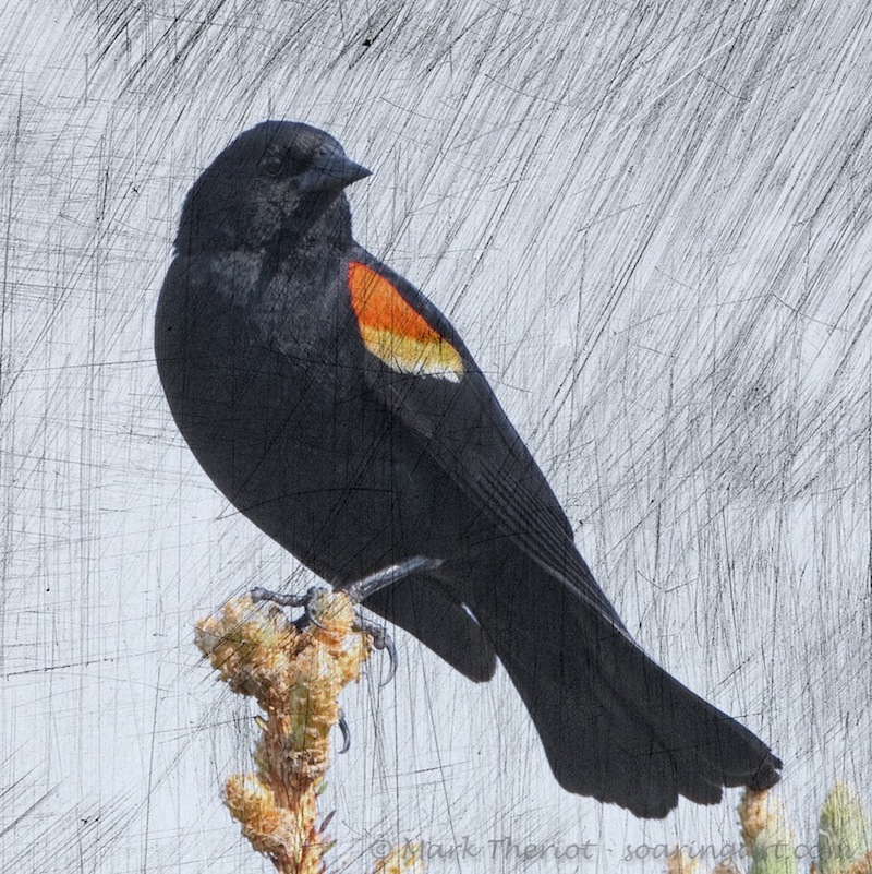 Theriot-Blackbird_art.jpg