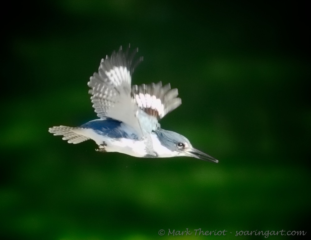 Theriot_Belted-Kingfisher.jpg