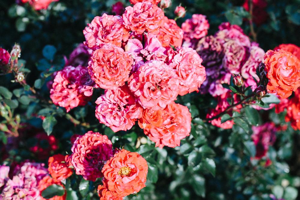 RoseGarden25.jpg
