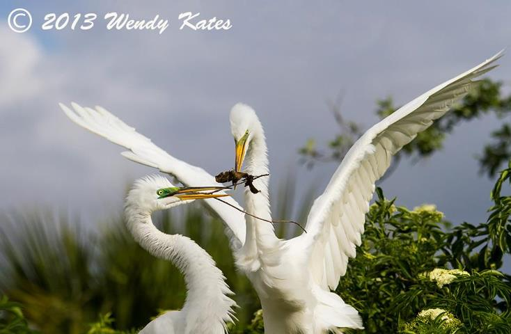 Twigs in their mouths are for nest building.  Great co-parenting, Great White Herons!
