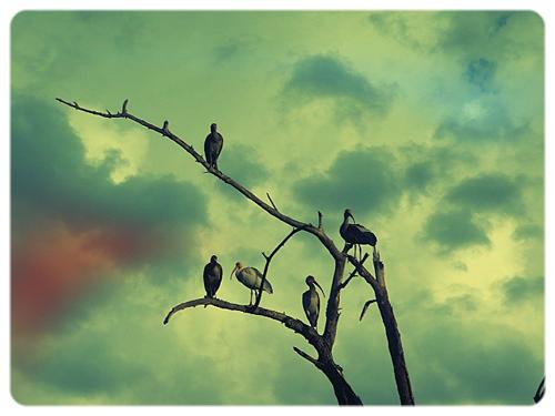 ibis_white_tree.jpeg