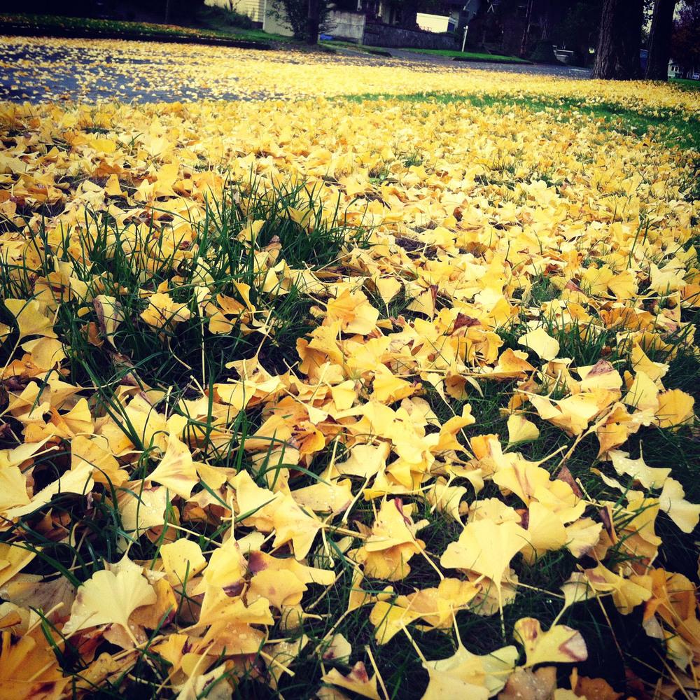 ginkgo fall.jpg