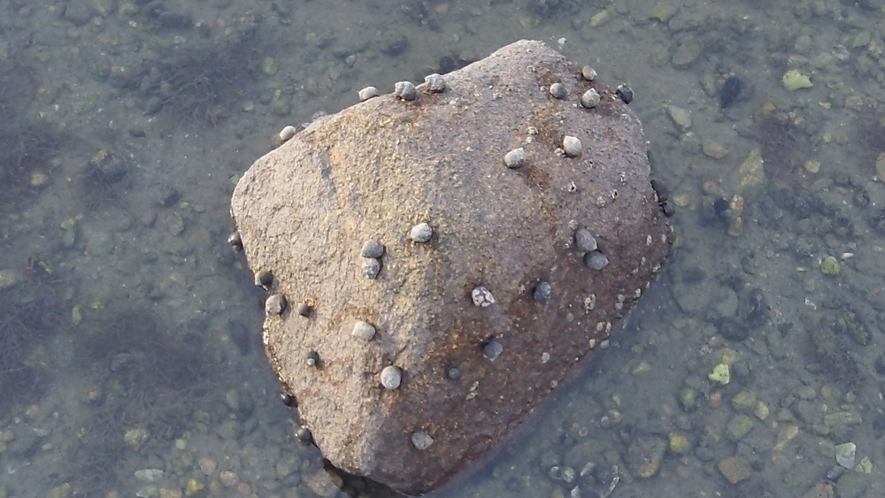 Periwinkles (an edible invasive snail) cover a rock at low tide.