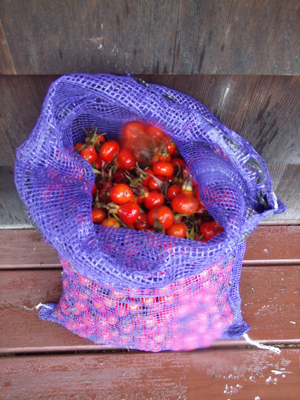 Rose hips harvested by Sarah Schumann from Seapower salt marsh, Tiverton