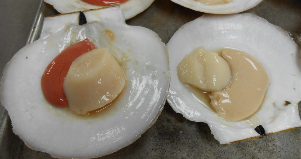 Raw whole scallops. The one on the left has red roe because it is a female; the one on the right has white roe because it is male.