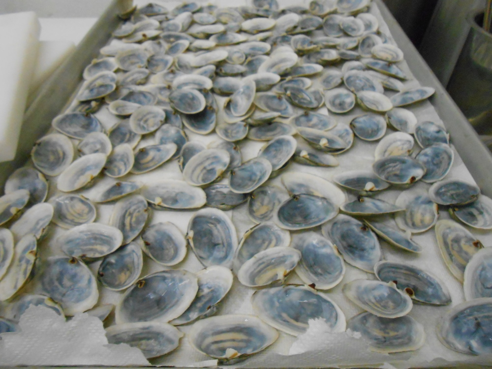 Steamer shells will form a garnish