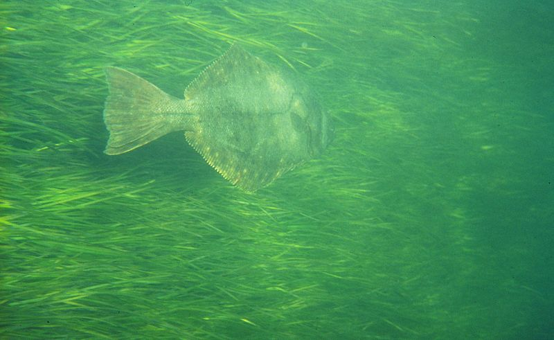 flounder in seagrass Narragansett Bay