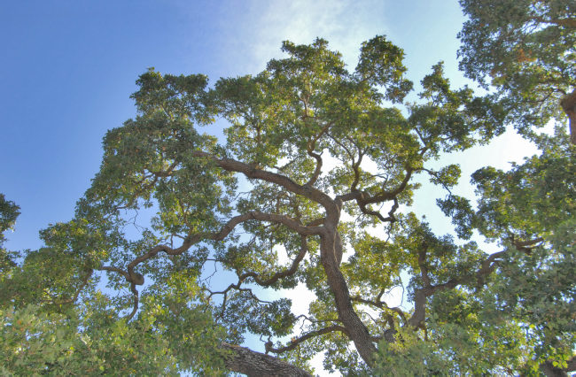 Complex-oak-trees.jpg