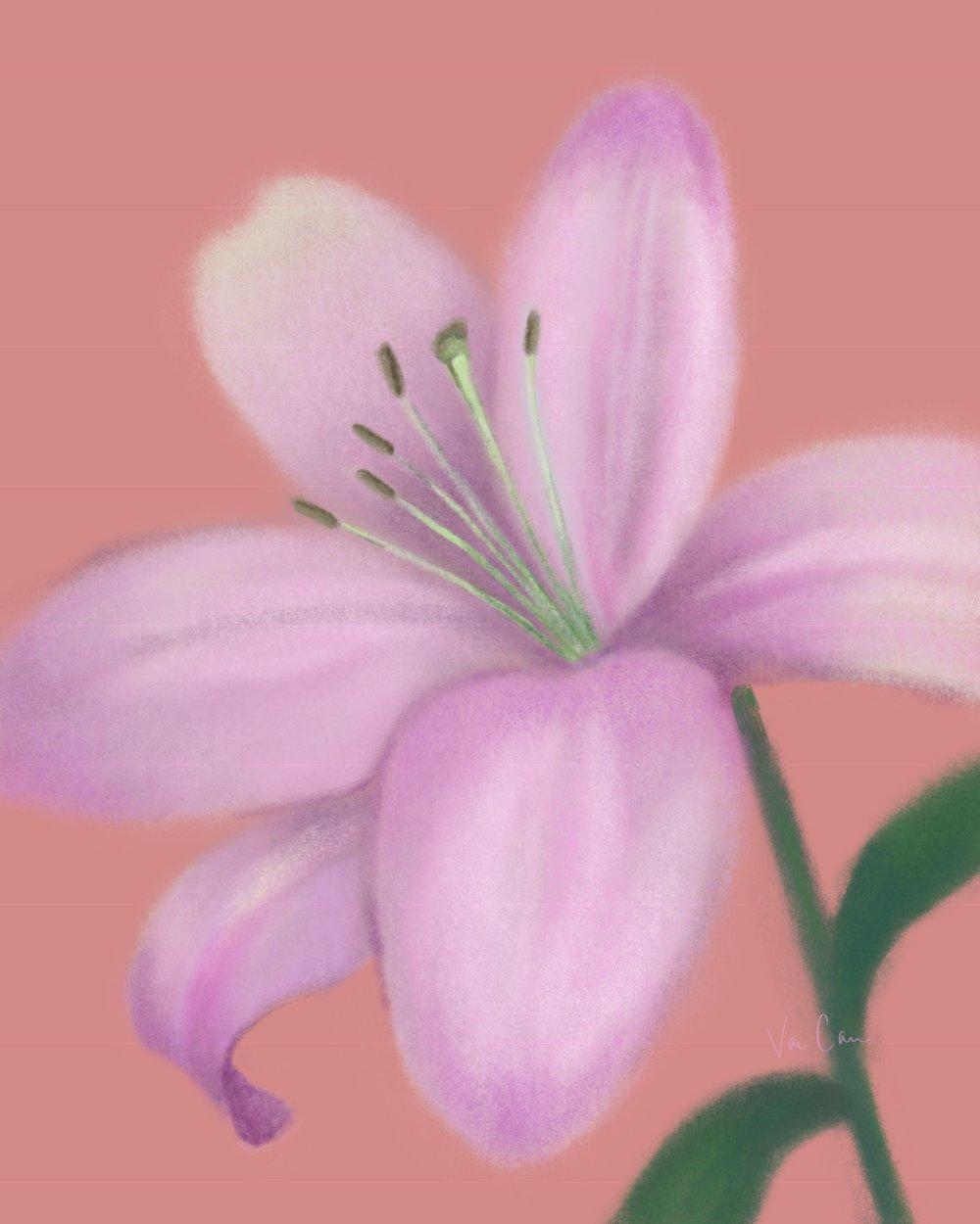 Light Purple Lily on Pink Background