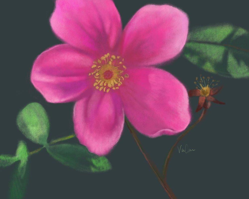 Pink Sitka Rose on Dark Background