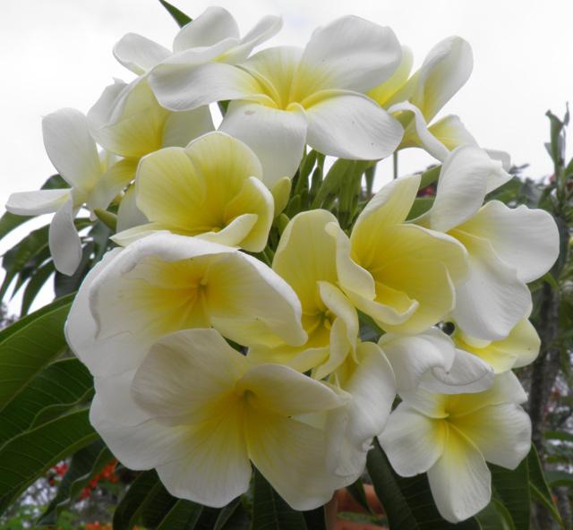 Plumeria_golden-bouquet.jpg