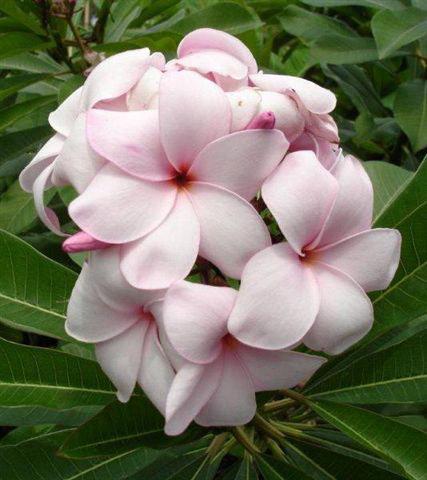 plumeria_pink-isabella.jpg