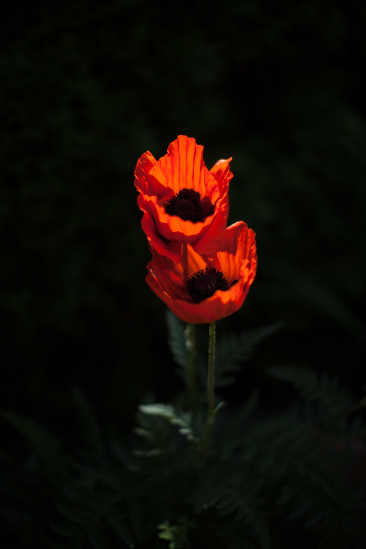 dearborn_poppy-4864.jpg