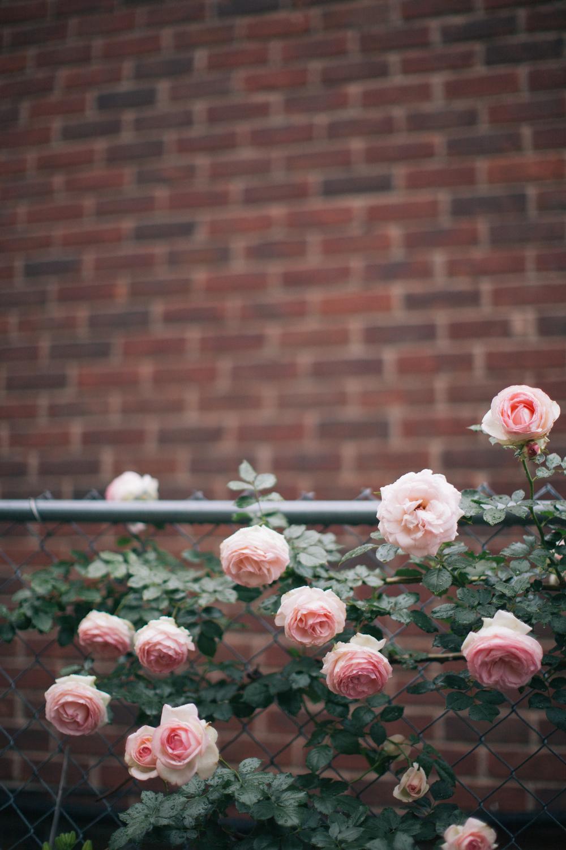 evening_rose-4671.jpg