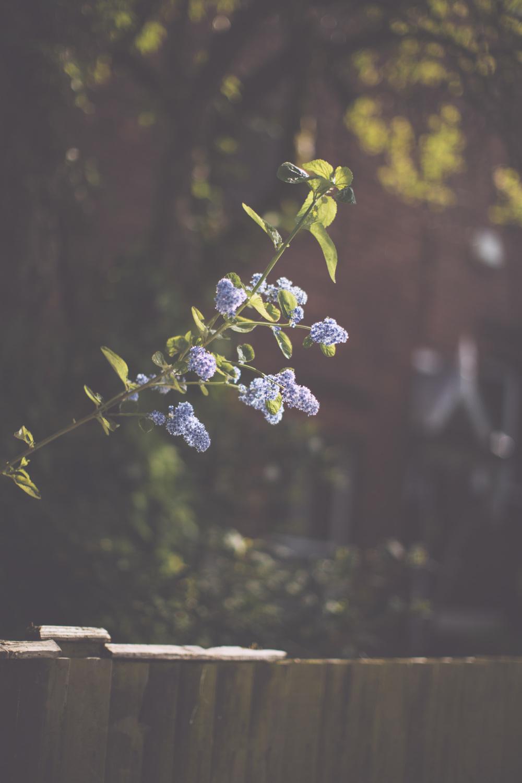 lilac-4614.jpg