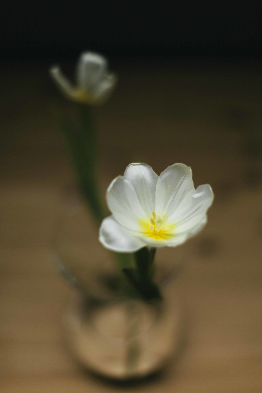 TulipFace-8343.JPG