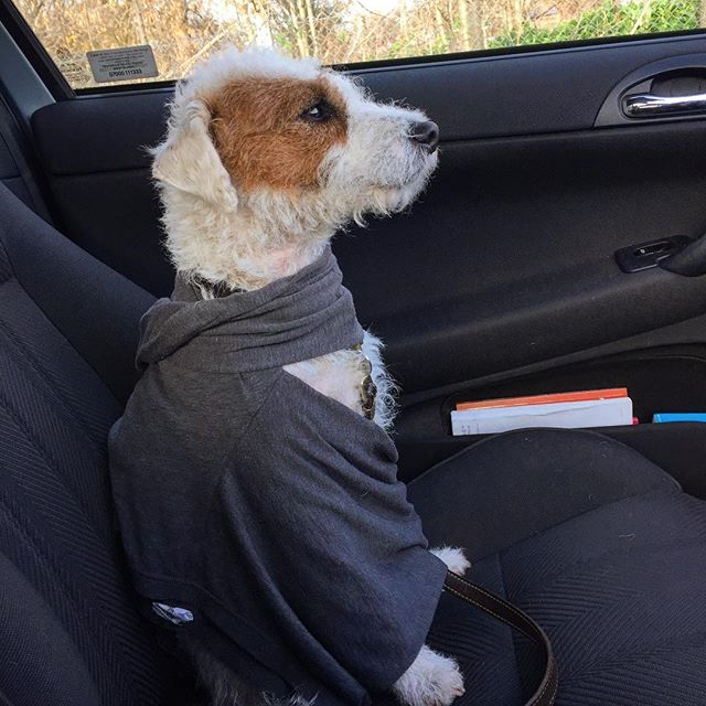 Sid was shivering in the car this morning so I gave him a make shift cape! #supersid #sid #parsonsrussellterriersofinstagram #dogwalk #dogwalking #dogsthathike #dogsincars #hackneymarshes #doggyfun #dogsofinstagram