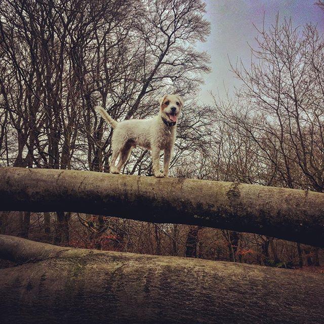 Having fun in the forest #Sid #eppingforest #dogwalk #parsonsrussellterrier #dogsthathike #dogsonadventure #dogsofinstagram