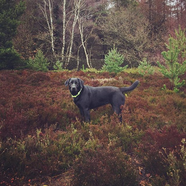 Rosie, the 2 year old black lab that I'm currently dog sitting her, I'm getting attached! #blacklab #stivesbingley #dogsitting #dogwalking #doggies #dogsofinstagram #dogfun #dogphotography #yorkshirewalks